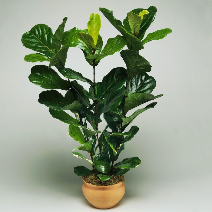 14 Best Indoor Plants On Amazon 2018 Fiddle Leaf And More