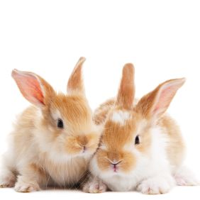 group of two baby light brown rabbits with long ears isolated on white