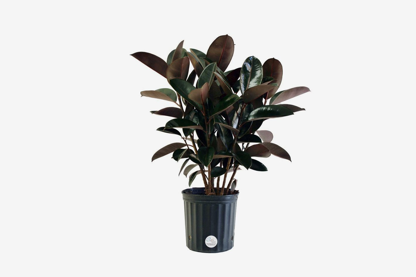 Costa Farms Premium Live Indoor Burgundy Rubber Plant