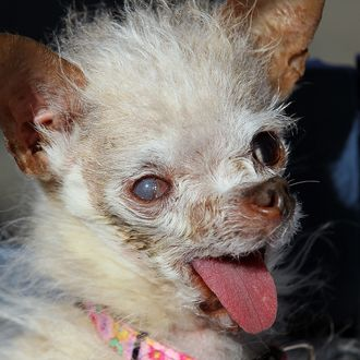 A dog named Yoda won the $1,000 top prize as the world's ugliest dog.