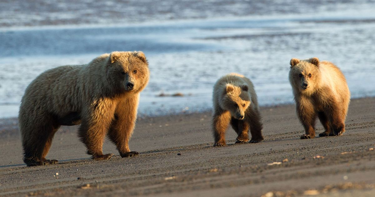 Evidence Bears Out Congressional Intent >> Trump Ends Obama S Ban On Bear Baiting In Alaska
