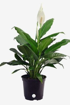 Costa Farms Peace Lily (Spathiphyllum) in Grower's Pot