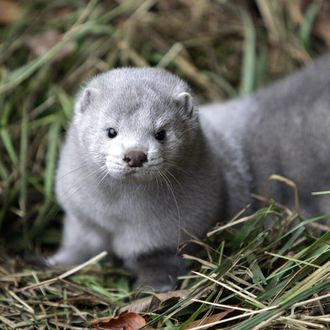 One of the more than 10,000 mink which w