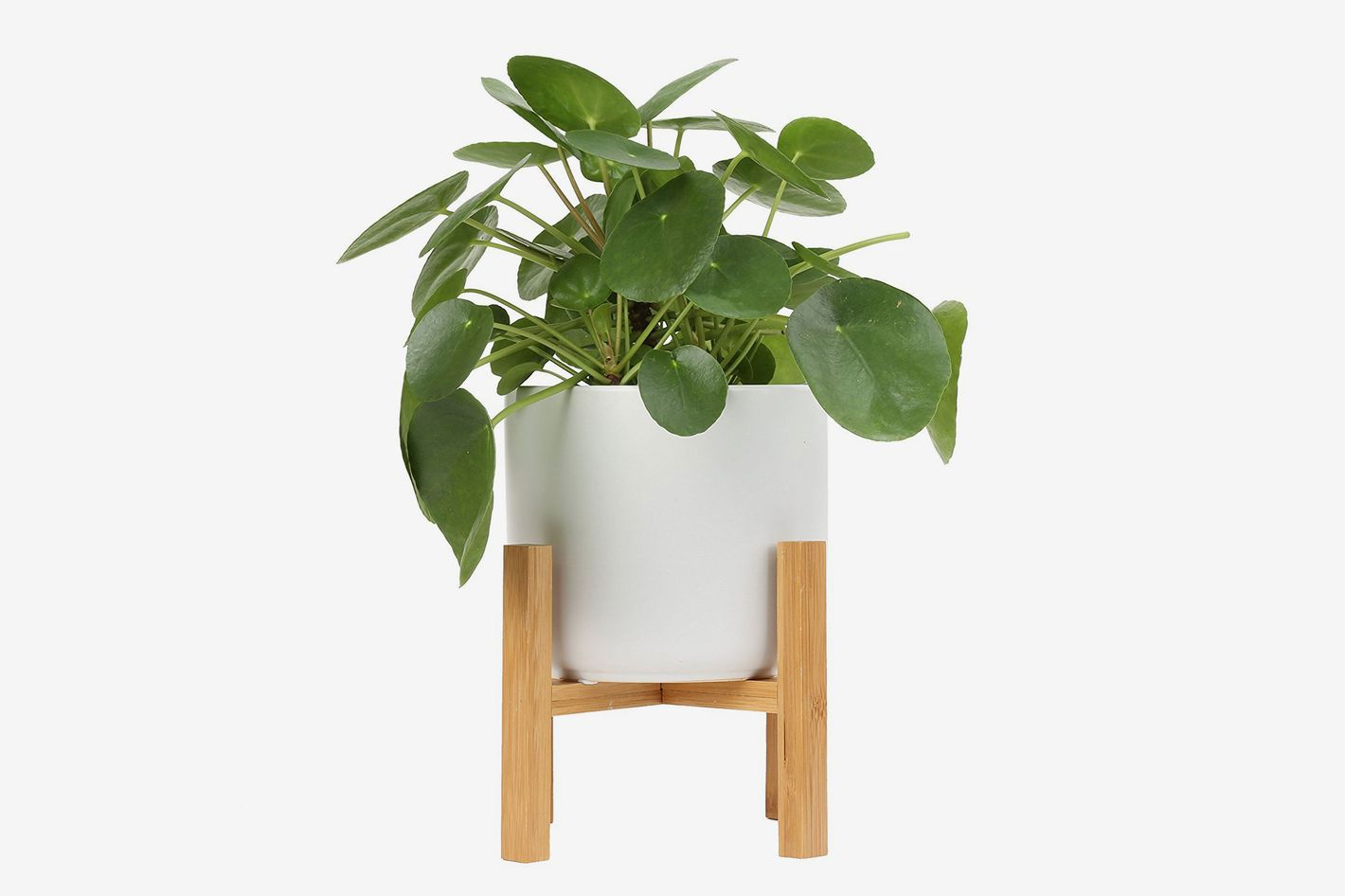 Costa Farms Pilea Sharing Indoor Tabletop Plant in 6-Inch Ceramic Planter