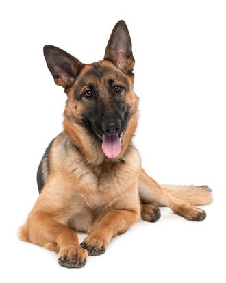 german shepherd (13 months old) in front of a white background.