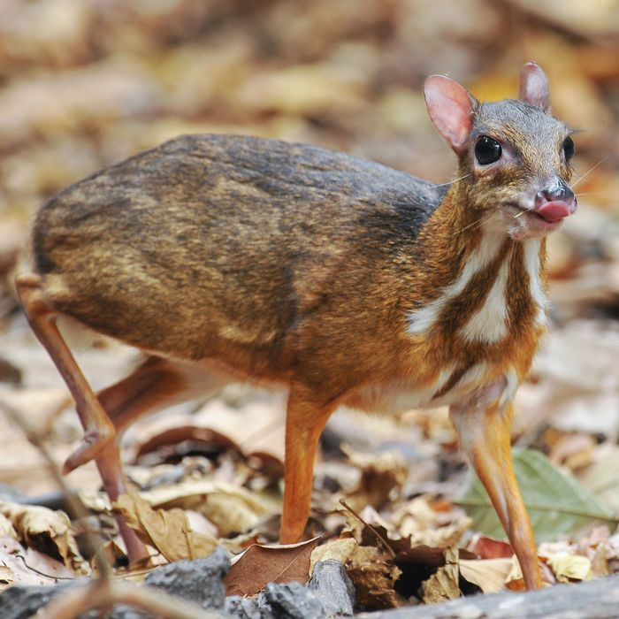 mouse deer - photo #15