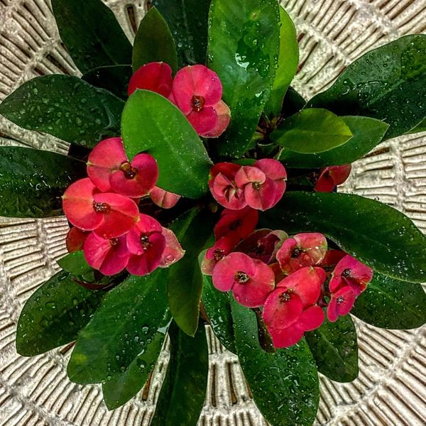 Euphorbia Milii Crown of Thorns