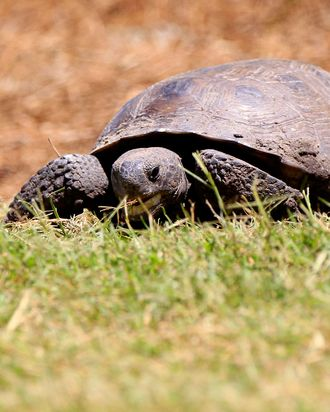 PONTE VEDRA BEACH, FL - MAY 15: A tortoise is seen on fifth tee during the final round of THE PLAYERS Championship held at THE PLAYERS Stadium course at TPC Sawgrass on May 15, 2011 in Ponte Vedra Beach, Florida. (Photo by Sam Greenwood/Getty Images)