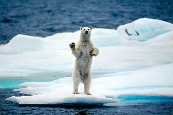http://pixel.nymag.com/imgs/daily/science/2016/11/29/29-polar-bear-climate-change.w710.h473.jpg