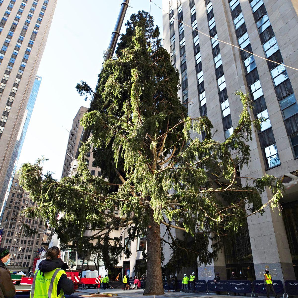 Christmas Trees 2021 Upper Manhattan Watch The 2020 Rockefeller Christmas Tree Has Arrived