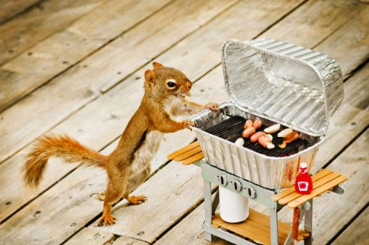 Squirrel looking at barbecue