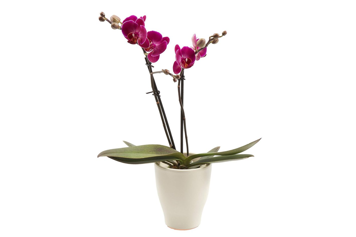 color orchids live double stem phalaenopsis orchid