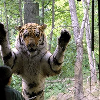 Man Loses Foot After Entering Tiger Den At Bronx Zoo In Apparent