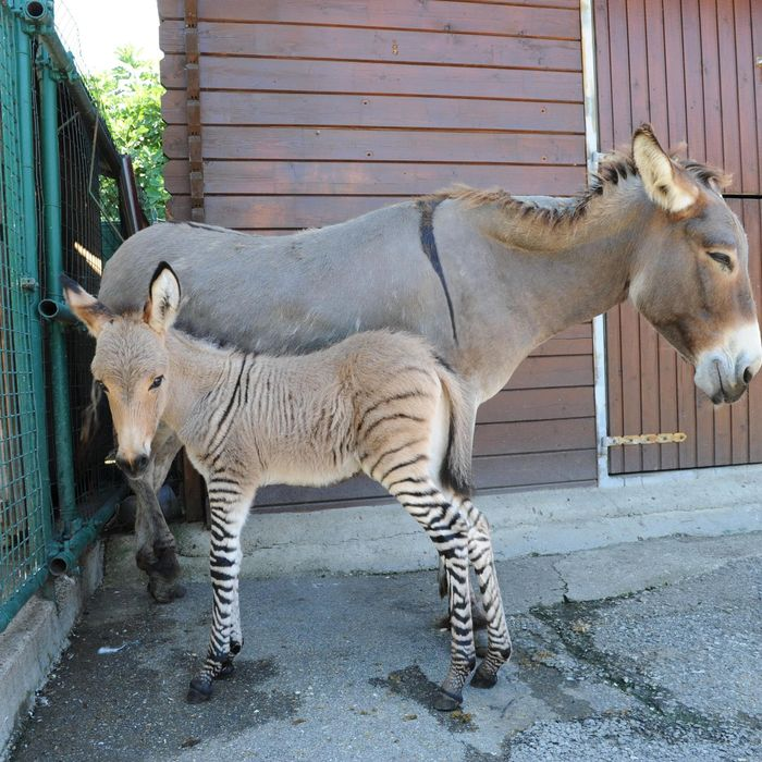 In the picture Ippo, a specimen of zonkey, a rare junction of a female donkey and a male zebra born three days ago. Florence, 23 July 2013.