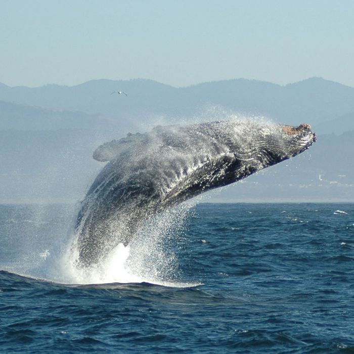 Why Do Whales Jump Into the Air? -- Science of Us