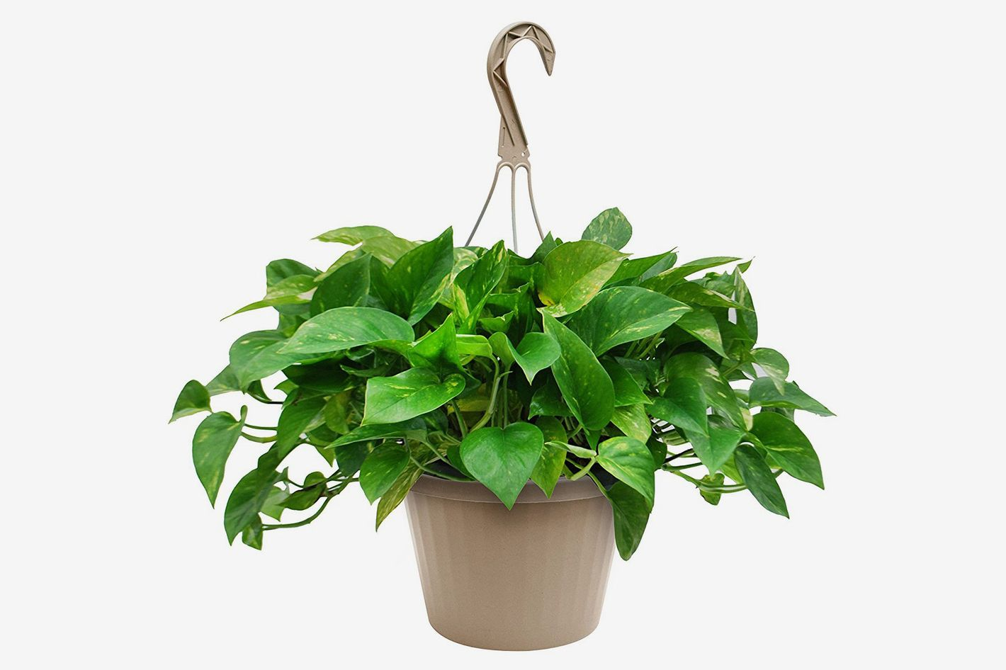 "Kurt Weiss Greenhouses Pothos in 8"" Hanging Basket"
