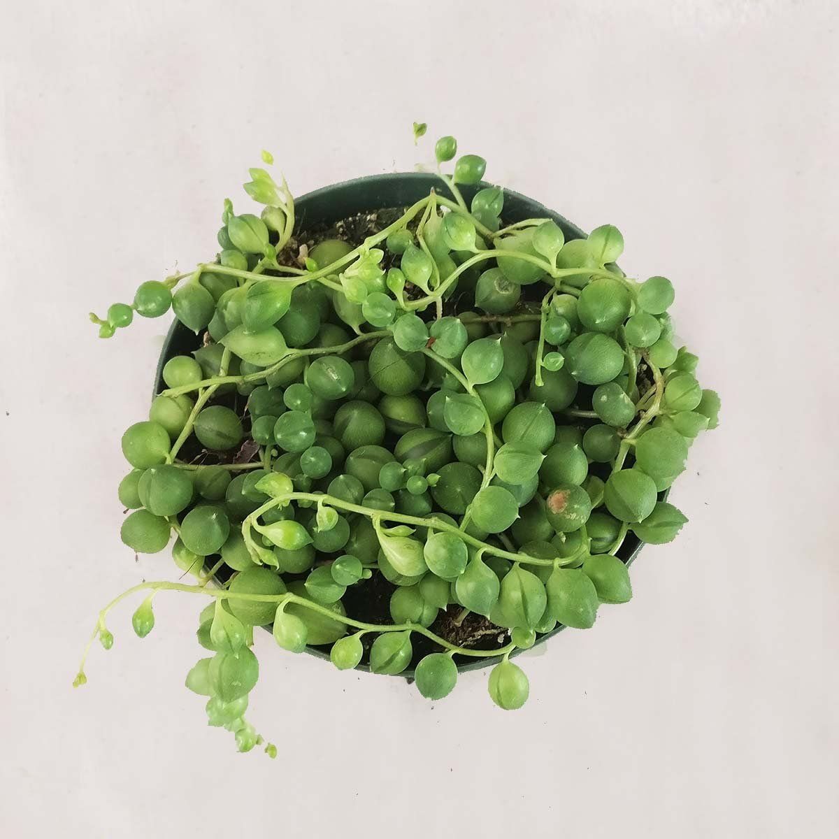 Shop Succulents String of Pearls Plant in 4-Inch Grower's Pot