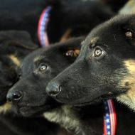 Prodigy, Valor, and Dejavu are pictured during a press conference on June 17, 2009 in Los Angeles, California to present the 6-month to 2-month-old cloned puppies of Trakr, a German shepherd, who sniffed out survivors from under the rubble of New York's World Trade Center after the 2001 terror strikes. Trakr was cloned in South Korea under the direction of Doctor Hwang Woo-Suk. AFP PHOTO / GABRIEL BOUYS (Photo credit should read GABRIEL BOUYS/AFP/Getty Images)