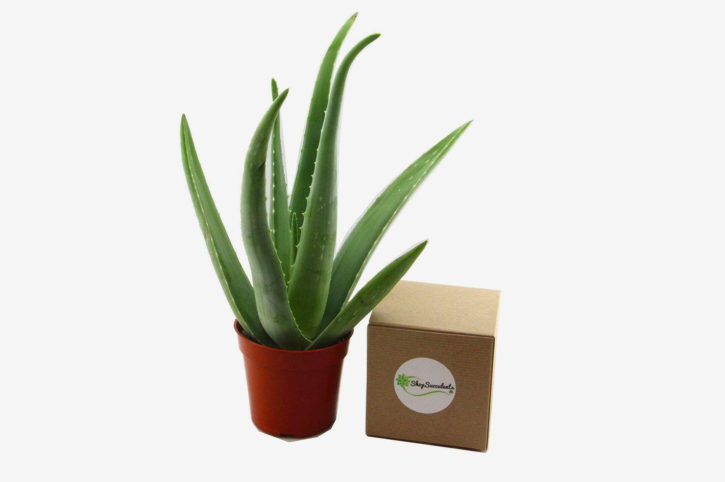 """Shop Succulents 4"""" Aloe Vera Plant"""