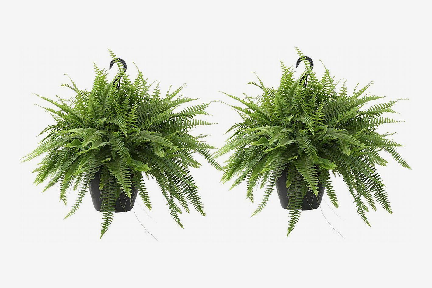 Costa Farms Boston Fern in Hanging Basket (Set of 2 Ferns)