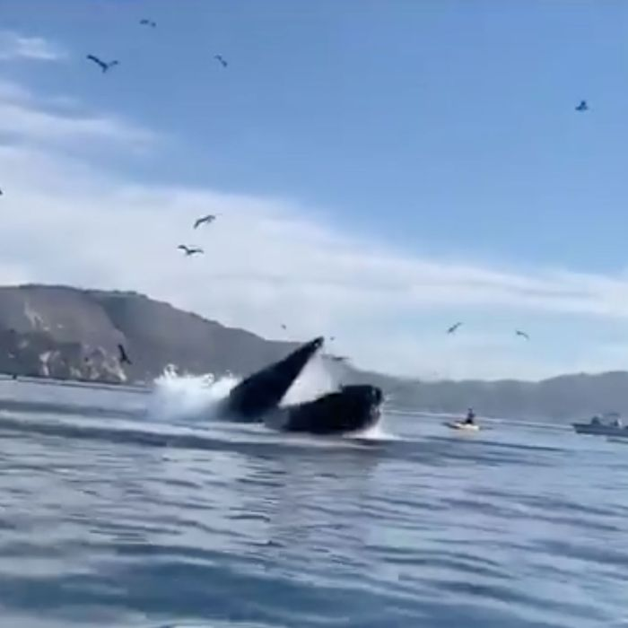 Whale almost swallowing kayakers.