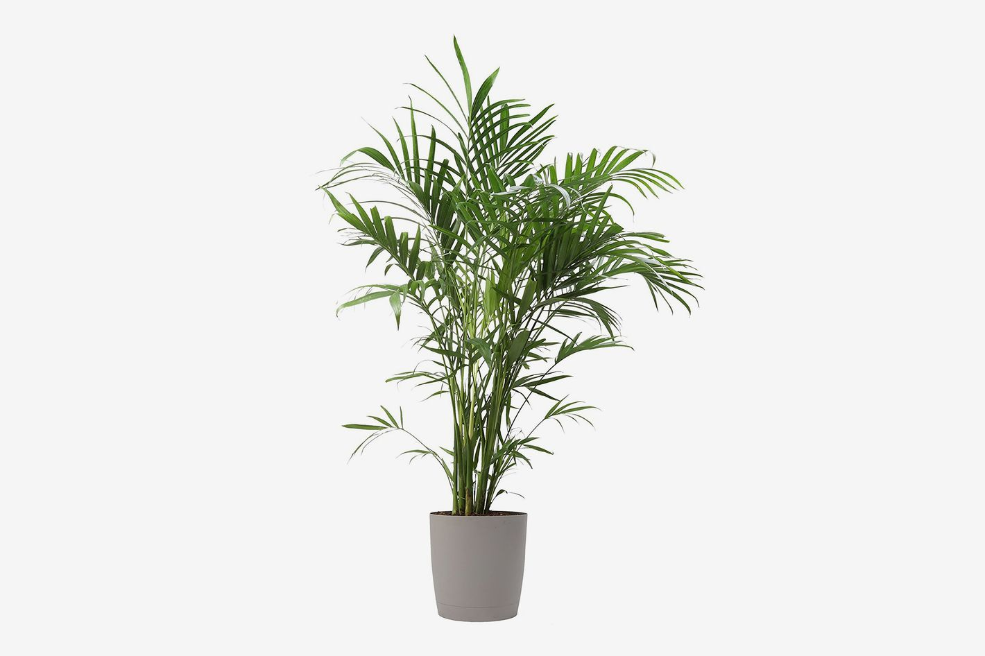 Costa Farms Premium Live Indoor Cat Palm