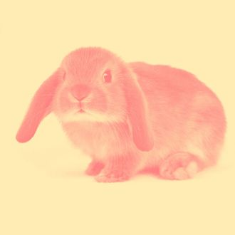 Closed Up Image of a Lop Ear Rabbit Looking at Camera, Front View, Differential Focus