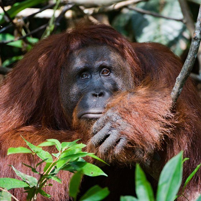 orangutan Shaved sex