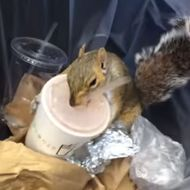 Milkshake Squirrel Knows Where to Find the Good Stuff