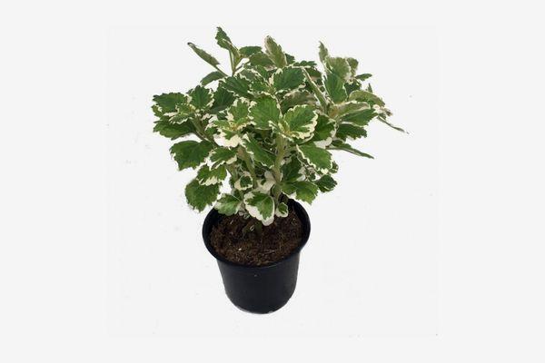 Variegated Swedish Ivy Plant