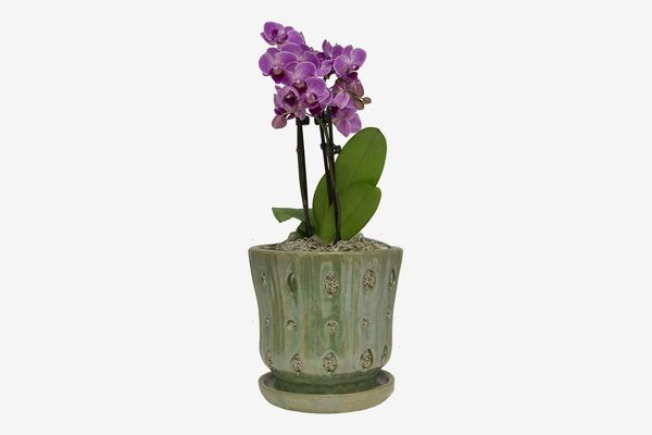 Trendspot 5 Inch Orchid in Green/White Indoor Planter