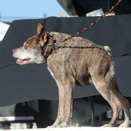 The World's Ugliest Dog competition in Petaluma, California.