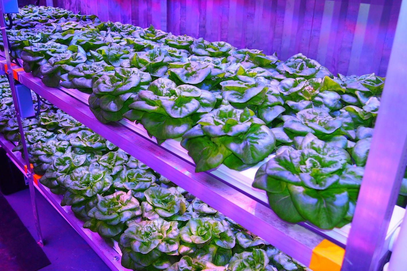 Powerful lettuce.