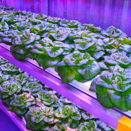 Hydroponic Lettuce Start-Ups Want to Bring Local Produce to Alaska