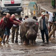 People help an escaped hippopotamus in Tbilisi, Georgia.