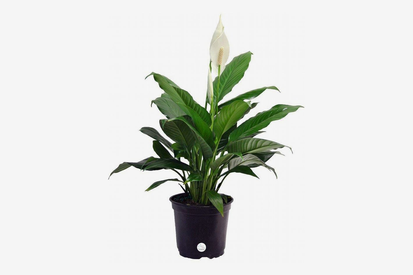 The 6 Best Plants for Cubicles, According to Plant Experts Peace Lily House Plant Html on pineapple plant house plant, dragon plant, black gold lily plant, zamiifolia house plant, croton house plant, peace lily plant benefits, problems with peace lily plant, artificial bamboo house plant, black bamboo potted plant, peace lily family plant, peace lily potted plant, classic peace lily plant, chinese evergreen house plant, marginata house plant, weeping fig house plant, peace plant brown leaves, holly house plant, white and green leaves house plant, funeral peace lily plant, droopy peace lily plant,
