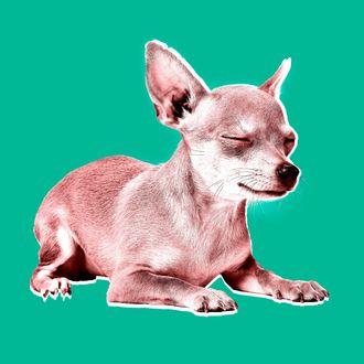 Chihuahua dog sitting and crying