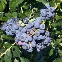 Patriot Early Season Blueberry