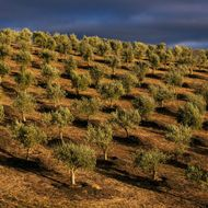 California's Scandal-Free Olive Oil Is Starting to Panic Old-World Producers