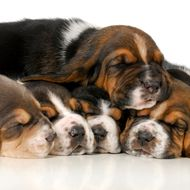 pile of puppies - litter of basset hound puppies - 3 weeks oldpile of puppies - litter of basset hound puppies - 3 weeks old