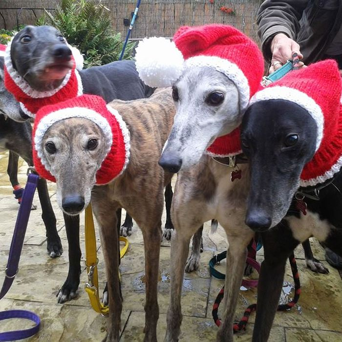 Greyhounds clothed by Jan Brown's KnittedWithLove.co.uk.