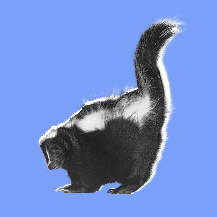 Skunk in Defensive Posture --- Image by ? 68/GK Hart/Vikki Hart/Ocean/Corbis