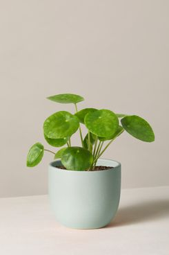 The Sill Pilea Peperomioides with Planter