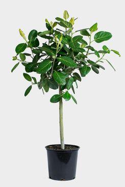 Ficus Audrey Tree