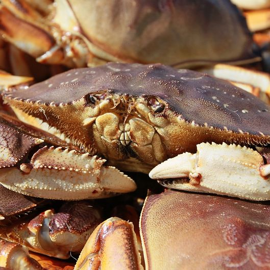 California's Dungeness Crab Seasons Starts