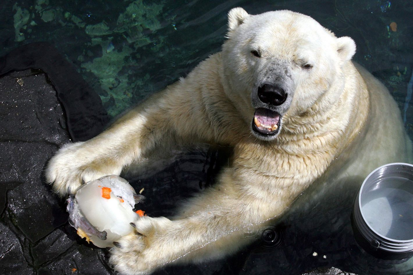 UNITED STATES - AUGUST 04:  Gus the polar bear keeps cool with a frozen treat at the Central Park Zoo.