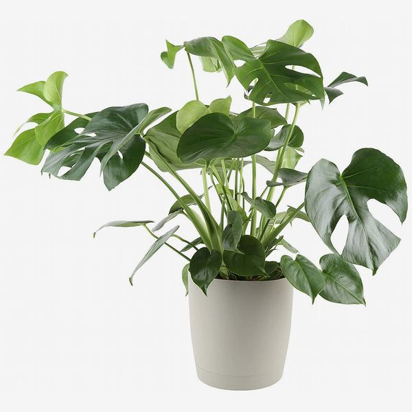 Glossy large leafed Costa Farms Split-Leaf Philodendron in light grey pot. The Strategist - Amazon Has Practically an Entire Plant Nursery on Sale Right Now
