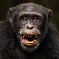Western chimpanzee young male 'Peley' aged 12 years playing - portrait