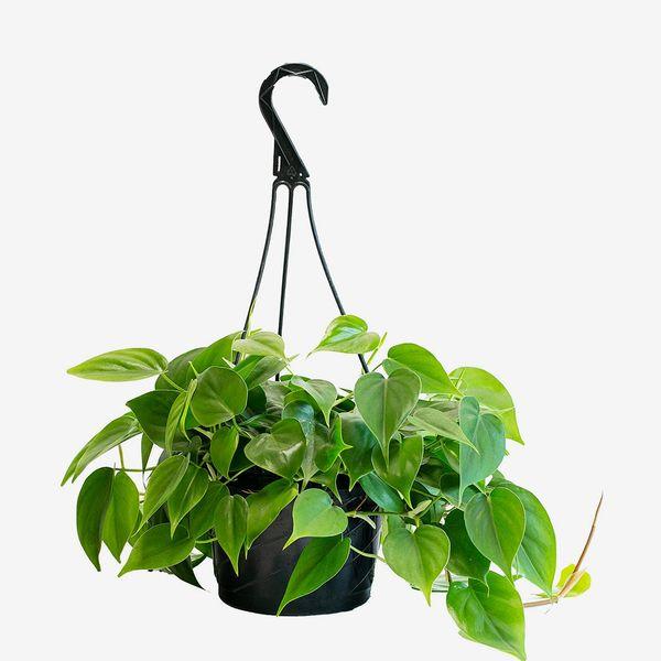 LiveTrends Design Philodendron Cordatum in Hanging Basket Grower Pot