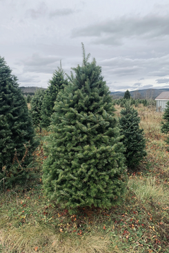 Real Christmas Trees Delivered 5-Foot Premium Balsam-Fir Christmas Tree